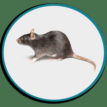 Dératisation rat noir à Challans, Saint Philbert de Grand Lieu et La Marne