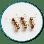 Désinsectisation de fourmis