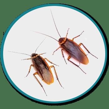 Désinsectisation des cafards et blattes