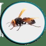 Désinsectisation des frelons asiatiques