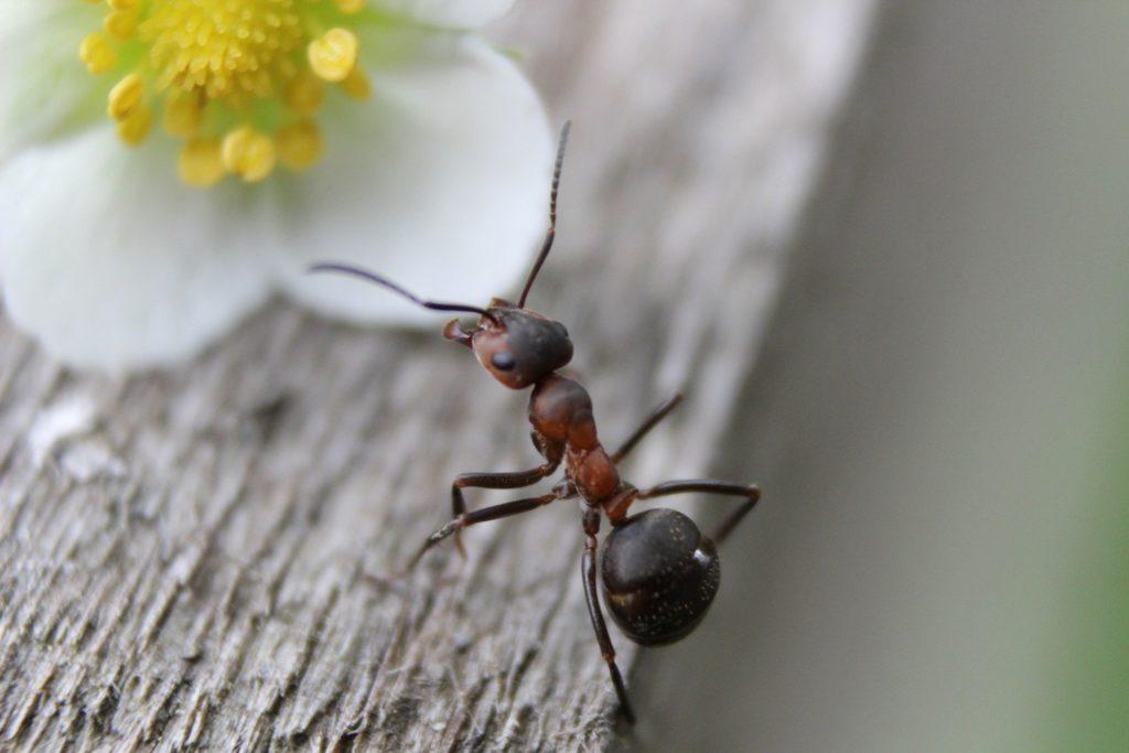 Désinsectisation des fourmis en Vendée