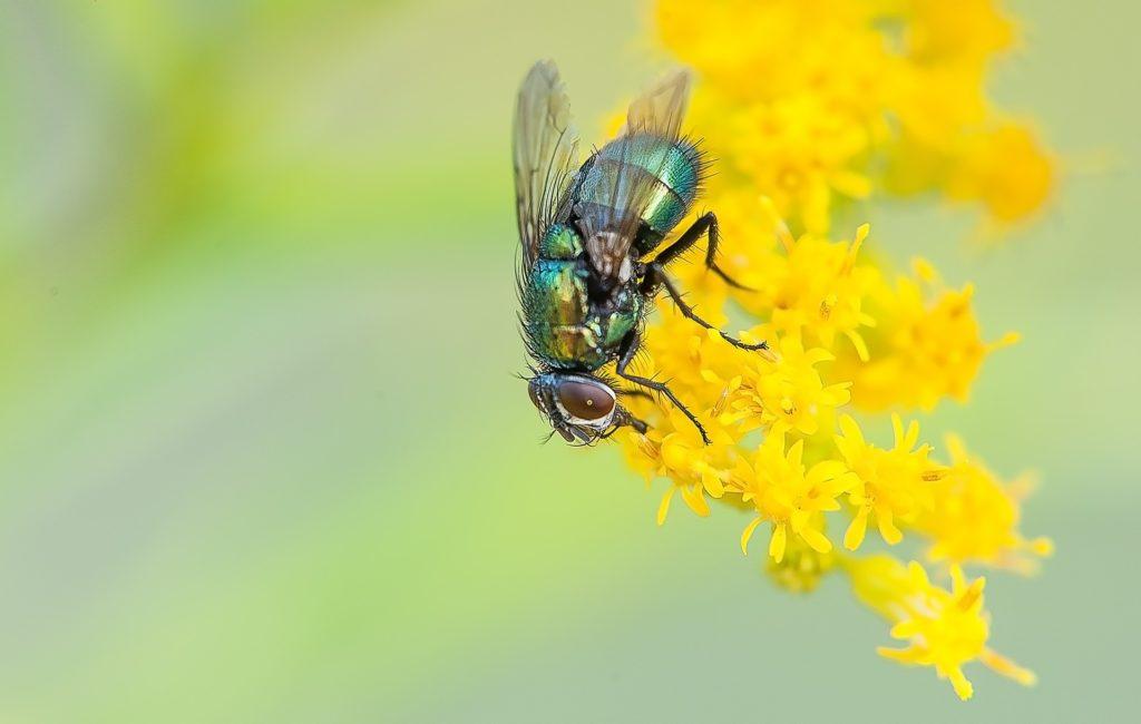 Desinsectisation de mouches en Loire Atlantique