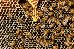 Destruction nid d'abeilles Loire-atlantique et Vendée