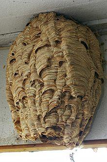 Destruction de nid de frelons européens en Vendée