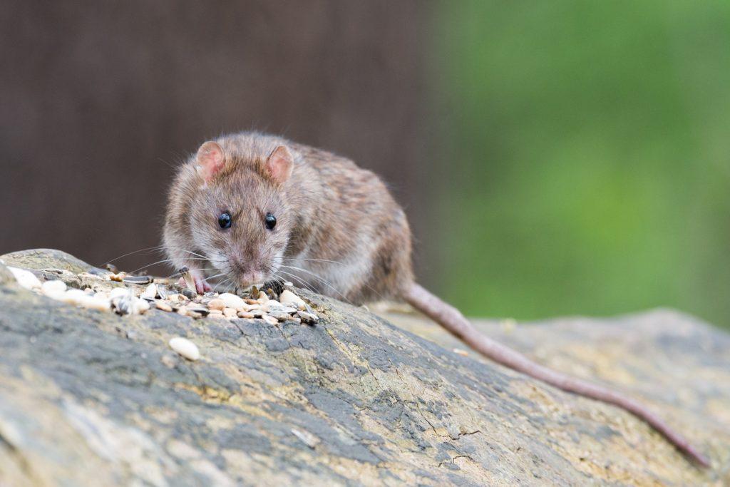 Dératisation du rat brun en Vendée