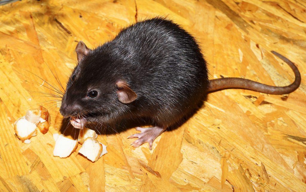 Dératisation rat noir en Vendée