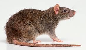 Zoom sur les rats